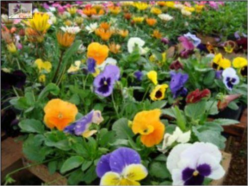 plantas de jardim leguminosas ? Doitri.com